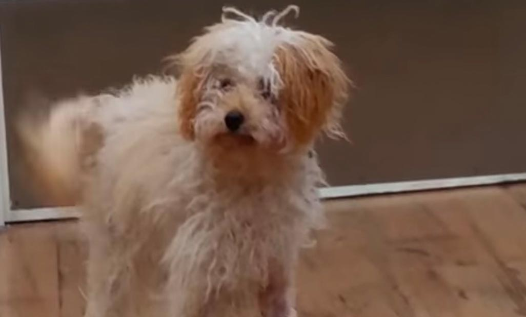 Simba the 7 month old toy poodle recovers from a radius fracture