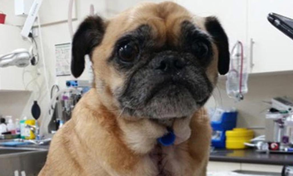 Why Marley underwent a tracheotomy and soft palate resection